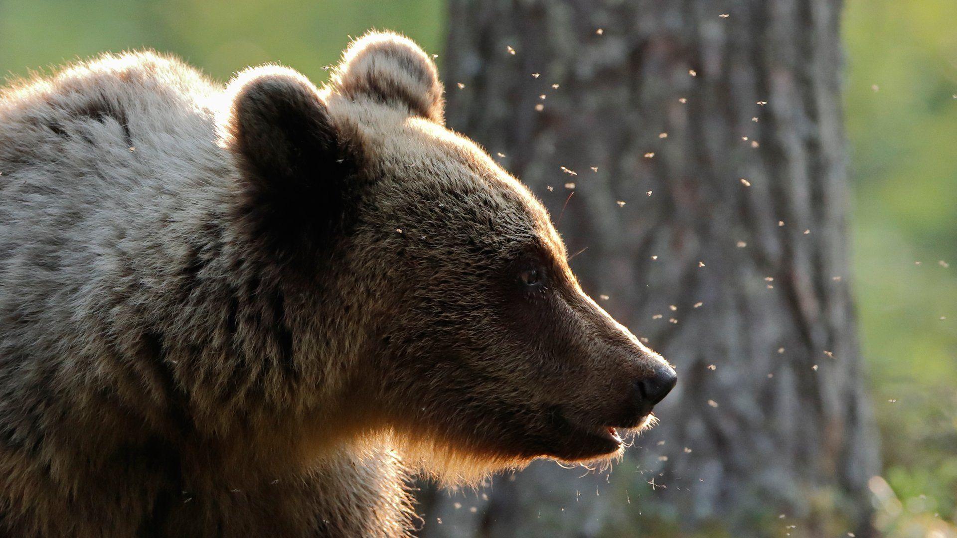 Canon EOS 90D - Markus Veresvuo - Brown Bear